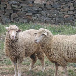 schapen 4